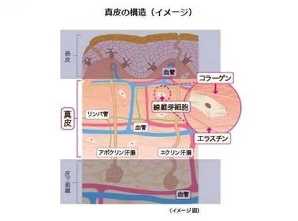 線維芽細胞