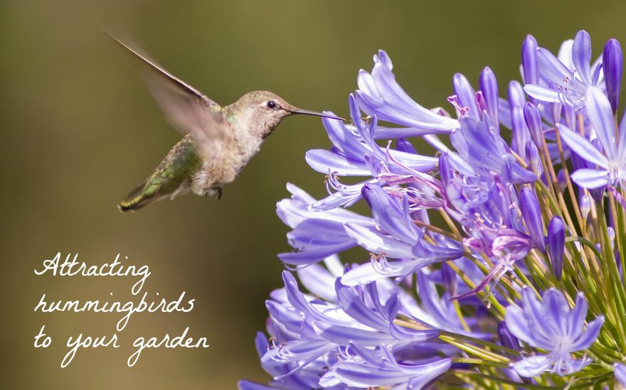 6 Plants To Attract Hummingbirds To Your California Garden