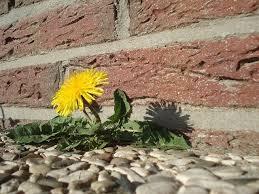 Dandelion in brick
