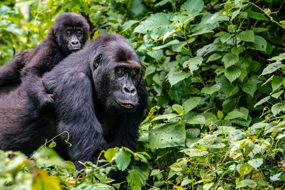 gorilla trekking congo wanderlust the road less traveled