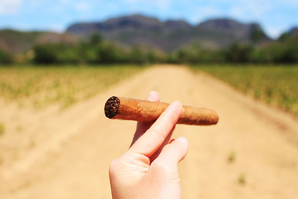 cuban cigar in cigar farm vinales on sunny day