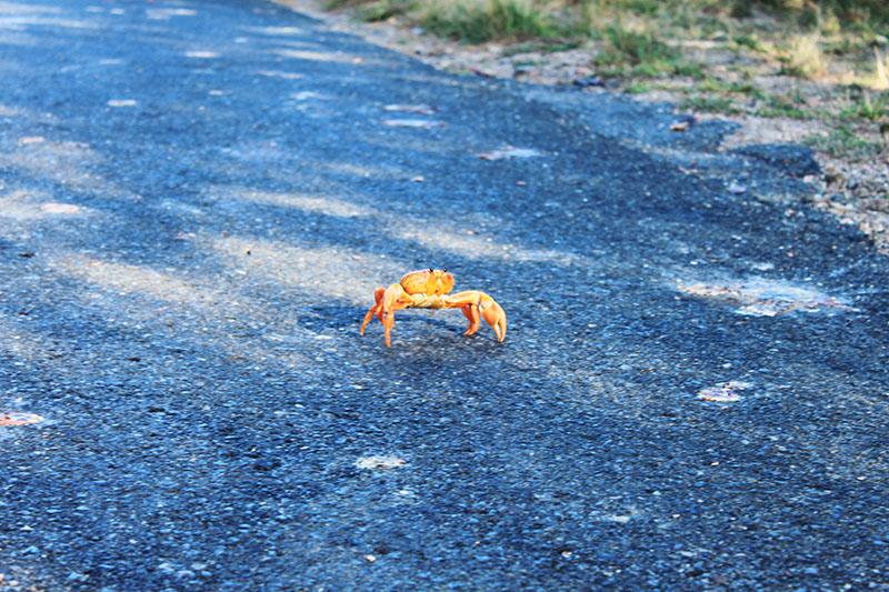 red crab on the road crab migration trinidad cuba