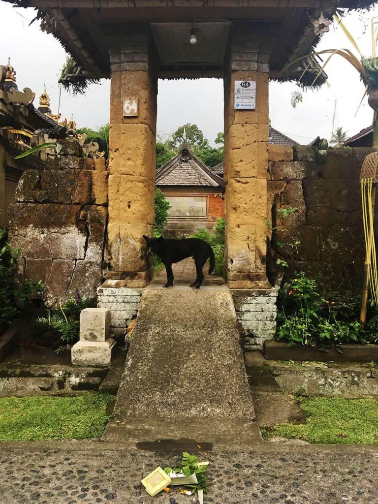 dog standing at house gate penglipuran galungan bali agirlnamedclara