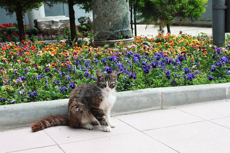 grey white turkish cat in front of flower garden_agirlnamedclara