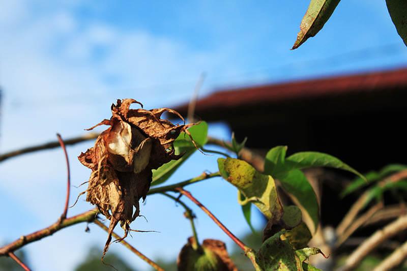 cotton plant tanaman kapas_agirlnamedclara