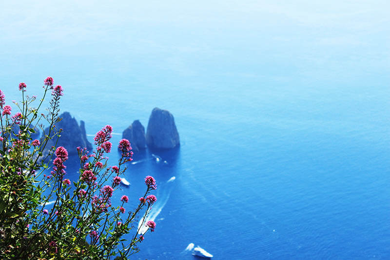 beautiful pink wild flower on cliff blue sea capri italy agirlnamedclara