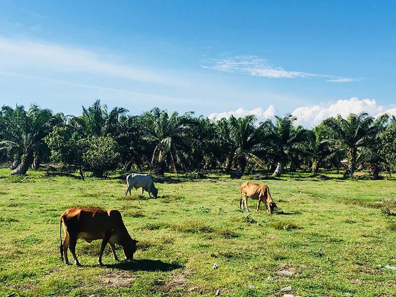cow eat grass blue sky background sekinchan cuti-cuti malaysia agirlnamedclara
