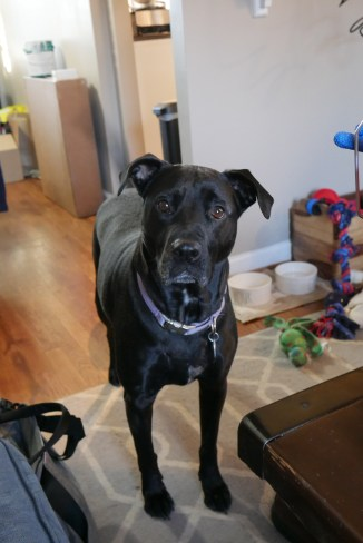black dog standing