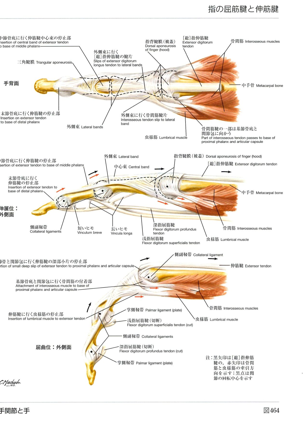 腱の解剖学 ネッターの解剖学参照