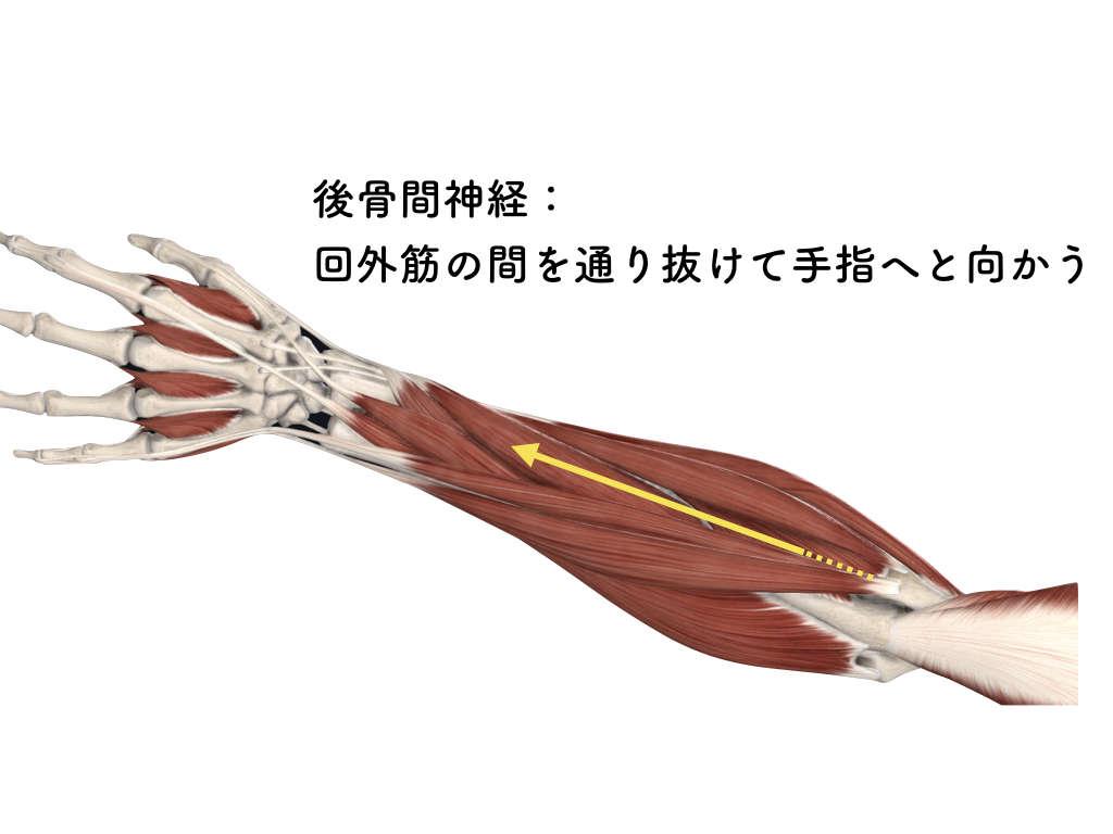 回外筋と後骨間神経