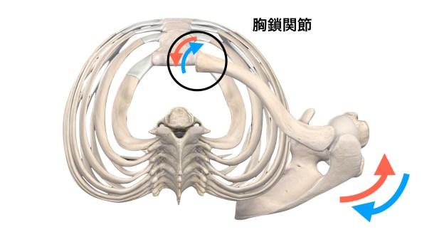 胸鎖関節の動き