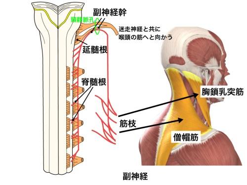 副神経・頸静脈孔・迷走神経