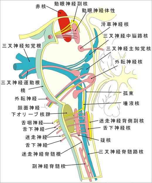 脳神経の分布