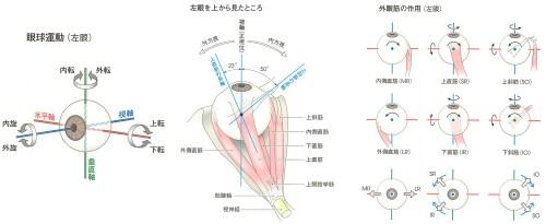 眼球の機能解剖