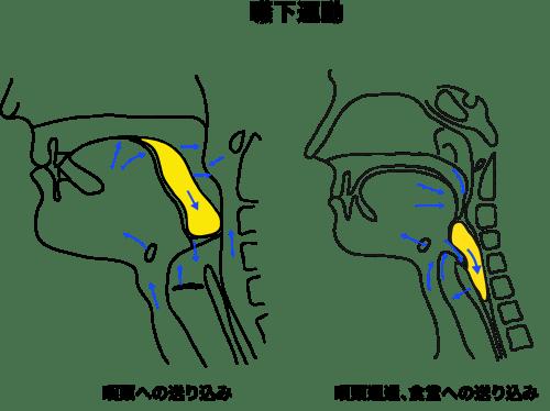 嚥下の舌骨と咽頭
