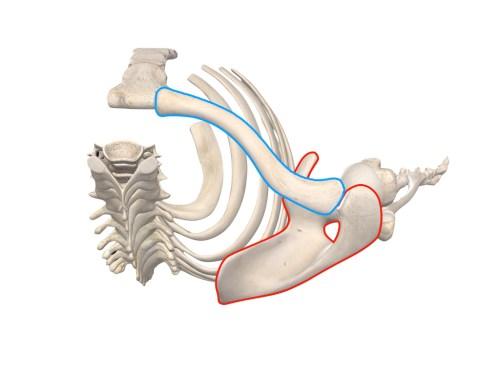 胸鎖関節と肩鎖関節