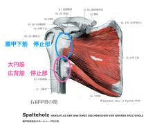 広背筋・大円筋・肩甲下筋の停止部