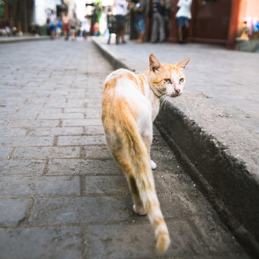 Havana Cuba Cat