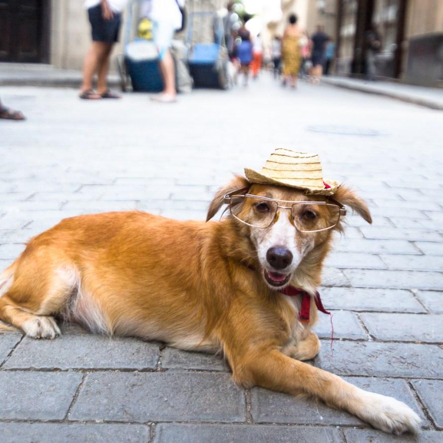 Havana Cuba Dog