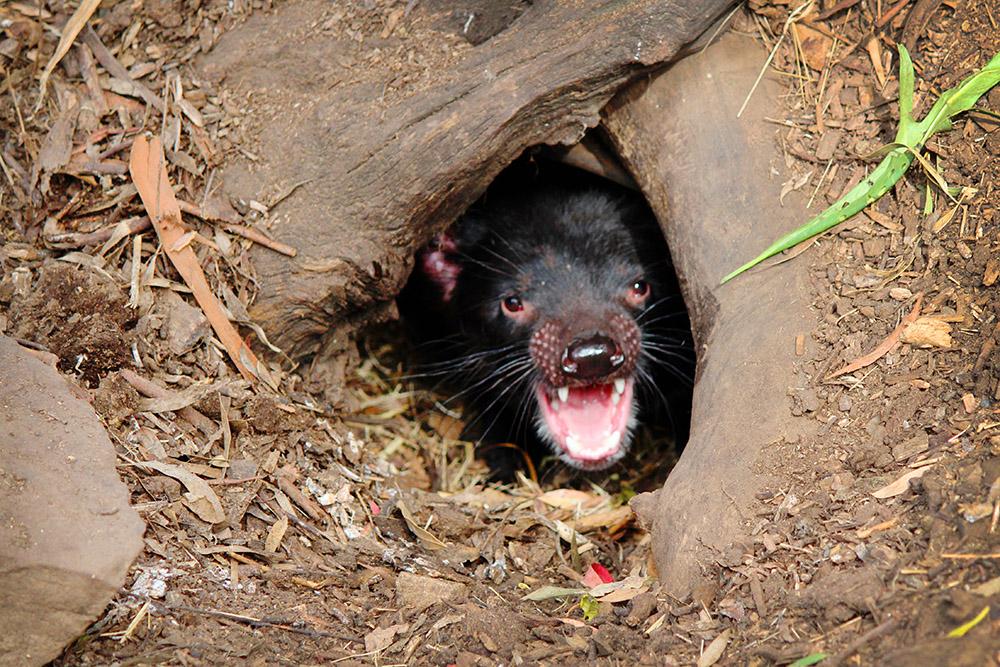 Tassie Devil at Bonorong Wildlife Sanctuary, Tasmania