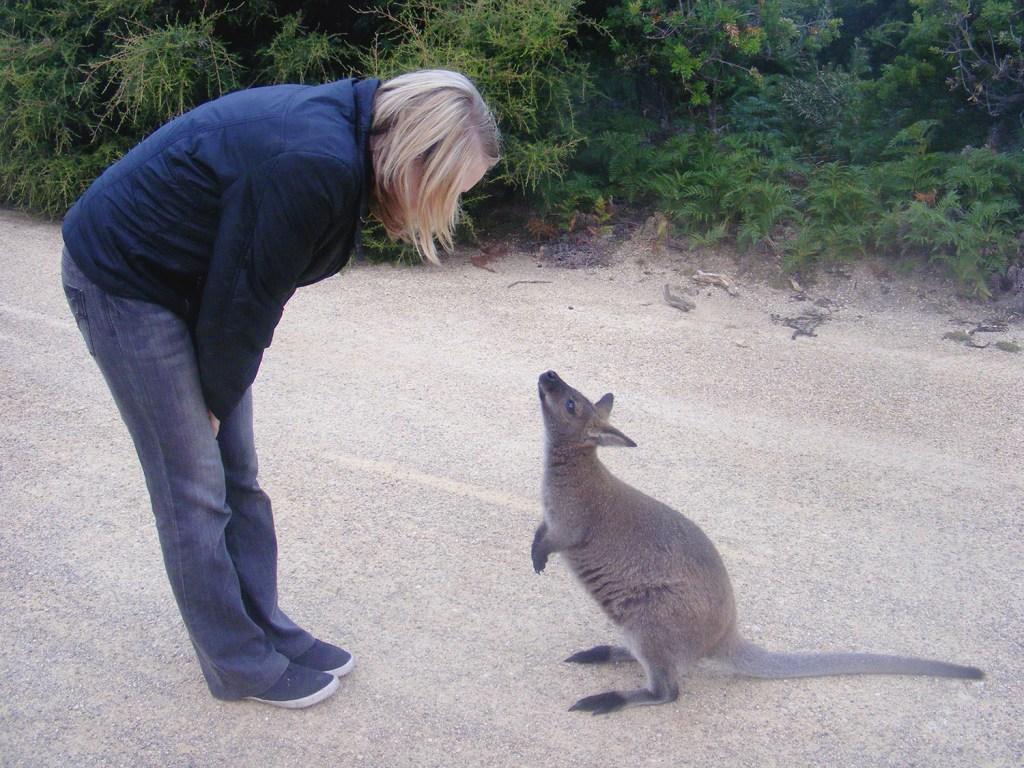Wallaby at Friendly Beaches in Tasmania
