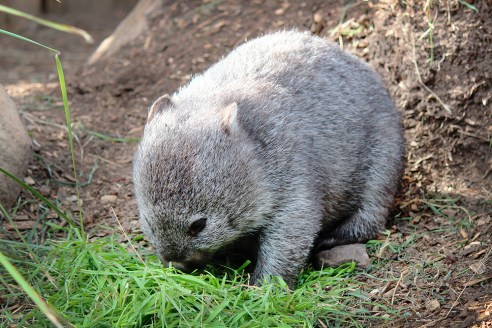 Wombat at Bonorong Wildlife Sanctuary, Tasmania
