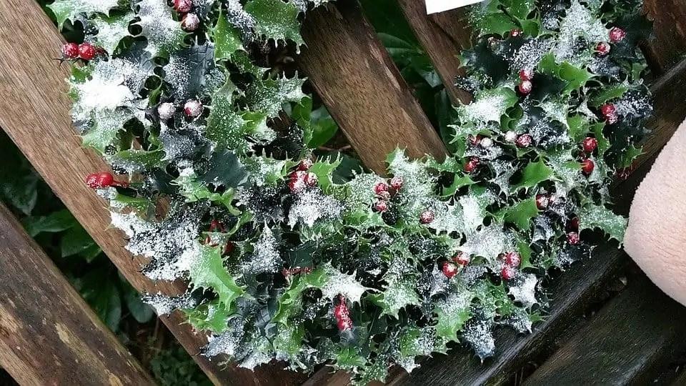 A holly Christmas wreath