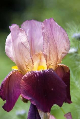 Iris-burgundy-lilac