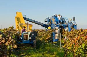 Shown is grower Brett Bonomi harvesting his Alicante grapes near Sanger last year.