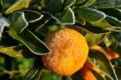 frozen-mandarin