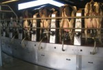 The Lakeside Dairy rotary milking parlor