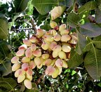 01-02-pistachio-day