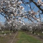 2013-almond-bloom