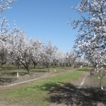 2013-almond-bloom-4