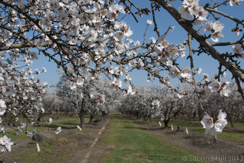 Almond Matters: Using an Aerial Application to Extend Bloom