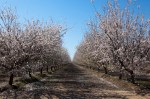 Almond trees during bloom