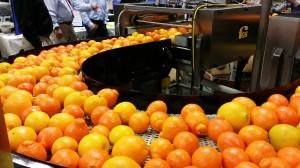 Oranges on Belt