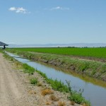 corn field, irrigation canal, California delta west of Stockton