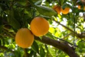 Oranges on branch