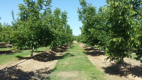 Phytophthora in Walnuts