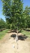 California walnut