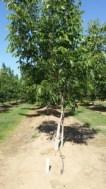 Walnut - Tree
