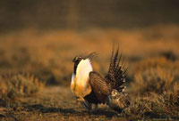 Strutting Male Sage Grouse with Female