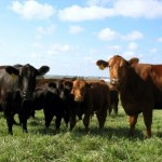 cattle-cows