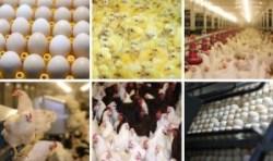 chicks egg incubator