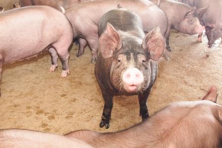hog pig