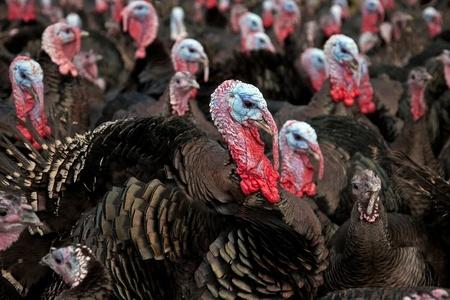 Turkey Prices Struggling at Thanksgiving
