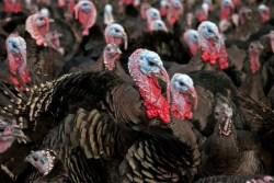 turkey Cargill
