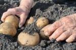 picking potato