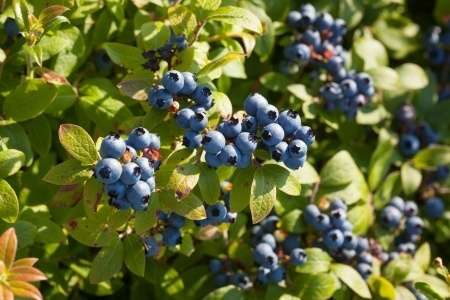 Harvest Begins as Extent of Blueberry Damage Remains Unknown